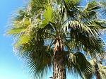 Zdjęcie:   Turcja  Riwiera Turecka  Antalya  (palm, turcja, antalya)
